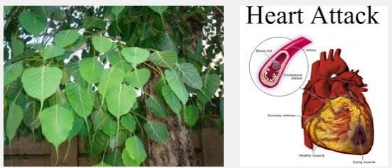 pipal leaves to cure heart blockage