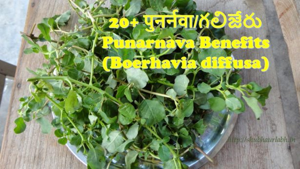 Punarnava Benefits